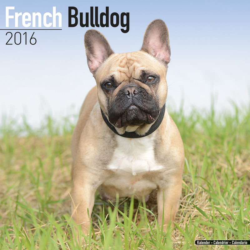 kalender 2016 french bulldog franz sische bulldogge ebay. Black Bedroom Furniture Sets. Home Design Ideas
